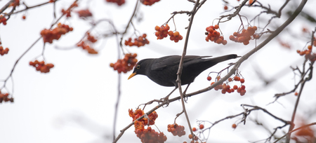 A blackbird sits on a branch with copyspace against a light background Standard-Bild - 116295618