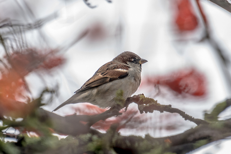 Male sparrow sits in a dense wintry shrubbery in front of blurred background Standard-Bild - 116295619
