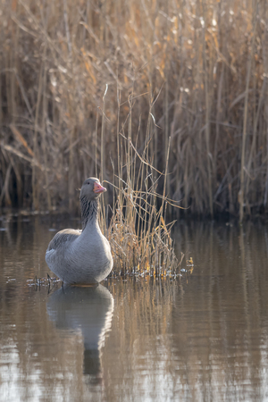 Frontal shot greylag sits on a small island in front of blurred reed background with copy space