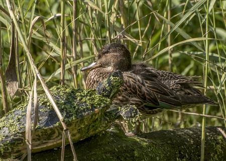 Wasserschildkröte mit Wasserlinsen bedeckt und eine braune Ente, die auf einem Baumstamm im Schilf sitzt Standard-Bild