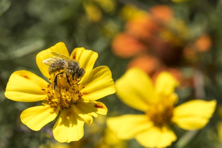 Soft-drawn honeybee on a yellow blossom against blurred green background with copy space
