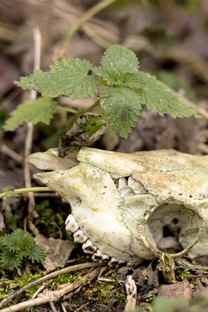 Skeletonized animal Skull without horns lies on the ground with a green plant Фото со стока