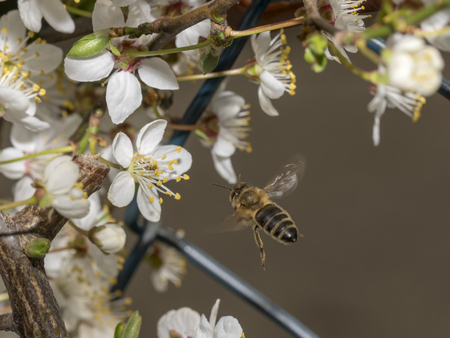 Honeybee in the spring is flying to a mirabelle blossom, against blurred background