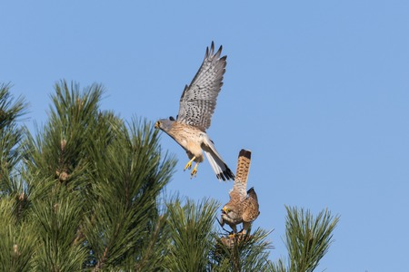 Kestrel couple on a pine while mating in front of blue sky Banco de Imagens