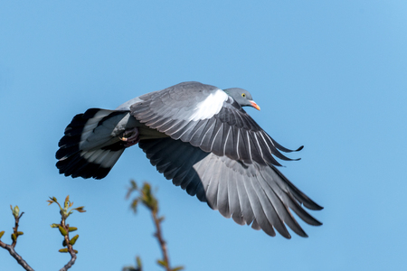 Flying wood pigeon with disheveled feathers in front of blue sky