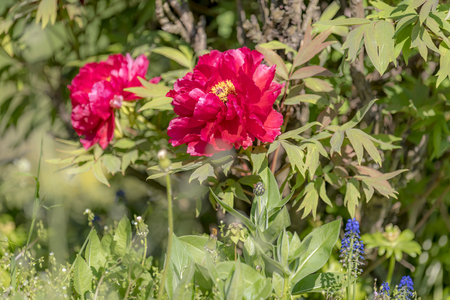 Big red peony with leaves and blurred colorful background