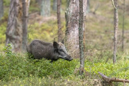 Female wild pig in the forest while eating between green blueberry bushes Imagens