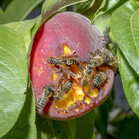 Bees and wasps sit on a ripened ripe peach on a tree Reklamní fotografie
