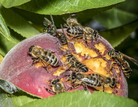 Bees and wasps sit on a ripened ripe peach on a tree Фото со стока
