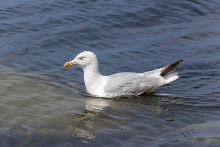 Seagull swims in the blue sea in light waves