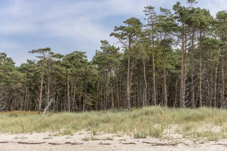 Pine forest on the German Baltic coast with dunes, grass and sand