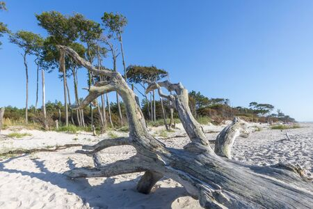 Old tree trunk lies on a sandy beach with dunes, forest and cloudy sky Фото со стока