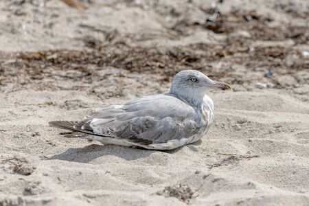 Young seagull is sitting in the sand on a dune with blurred background