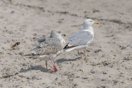 Two young seagulls are standing in the sand on a dune with blurred background