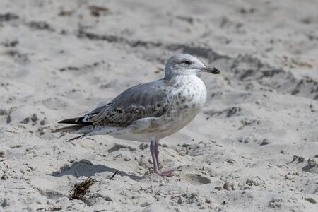 Young seagull is standing in the sand on a dune with blurred background
