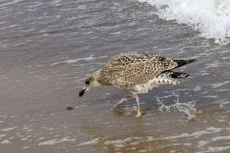 Brown seagull pecks on the wet beach for a clam