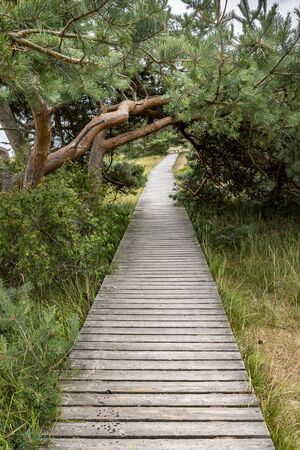 Wood jetty through dunes in the nature reserve on the Baltic coast with pines and grass