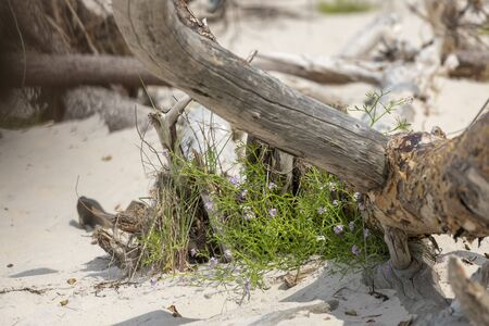 Driftwood growing little purple flowers in the sand of a dune at the Baltic Sea coast