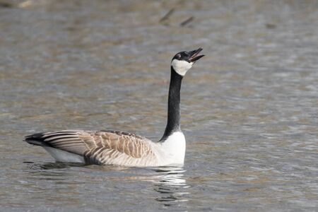 Canada goose is swimming with a stretched neck, screaming on a lake