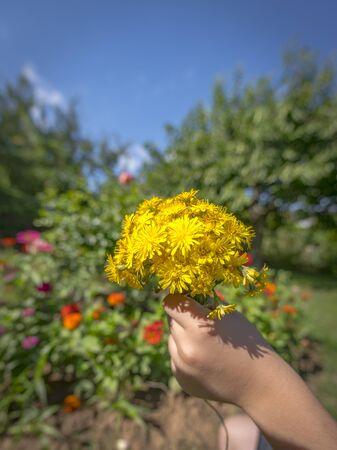 Child holds a bouquet of yellow blossoms in the sunshine in hand in front of blurred colorful background Фото со стока