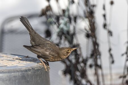 Female blackbird sits on a bucket just before takeoff against blurred background