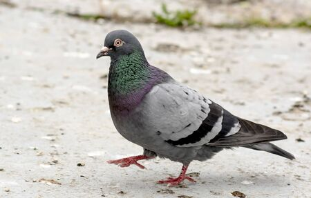 Wood pigeon with shiny feathers runs over the beaten sand bottom