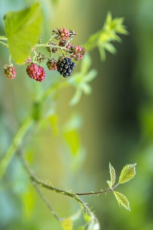 Green, red and black berries against green background with copy space