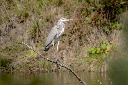 Gray Heron is sitting on a branch which stands in a lake against blurred background Фото со стока