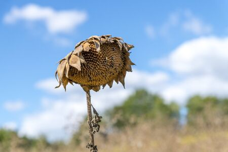 Brown withered sunflower sadly leaves the flower head hanging in front of blurred green background