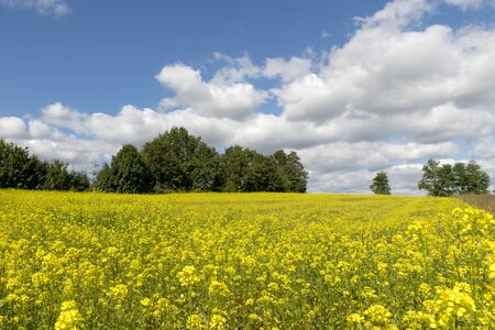 Yellow flowering rape field with cloudy blue sky and trees in the background