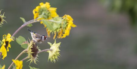 Goldfinch sits on an old sunflower with seeds between blooming sunflowers in front of blurred green background