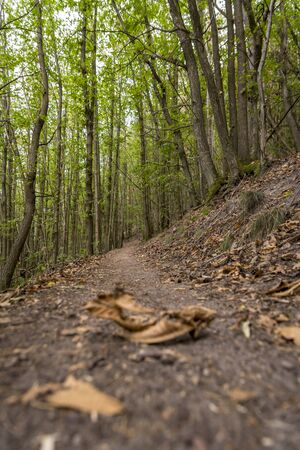 Forest path with green-leafed chestnut trees with blurred dry leaves in the foreground from a frogs perspective
