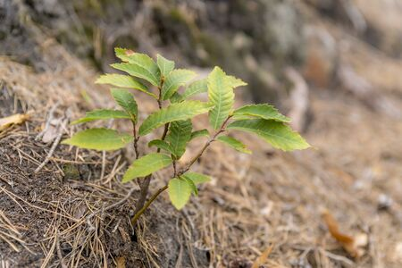 Young shoots of a sweet chestnut tree grow on a slope between pine needles Фото со стока