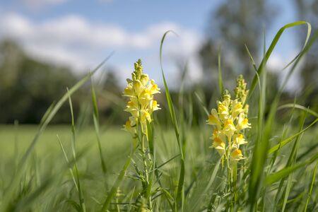 Yellow - white Dactylorhiza insularis flowers between green grass against blurred blue sky