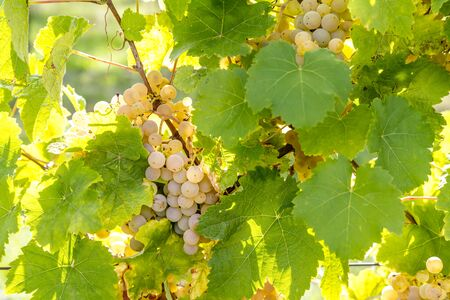 Ripe yellow grapes hang in the direct backlight of the sun on the bush