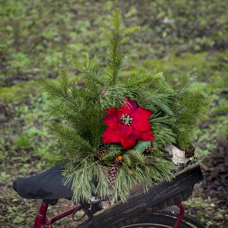 Red poinsettia Blossom in a arrangement of spruce in a wine box on a bicycle rack