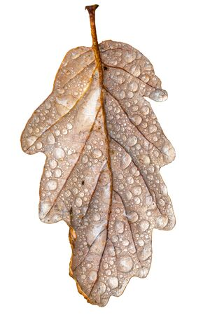 Oak leaf with dew drops and stem in autumnal colors Isolated on white Stock fotó