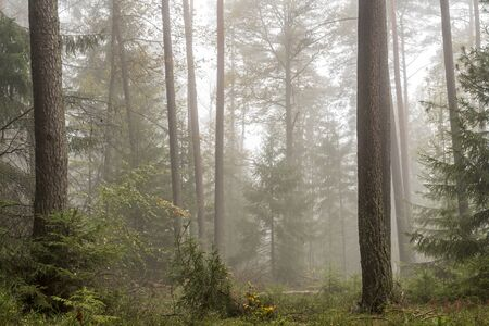Forest in the bright fog with pines, deciduous trees and firs. Soil overgrown with moss and ferns Stock fotó