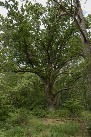 Very old oak tree in a German Moor forest landscape with fern, grass and deciduous trees in summer