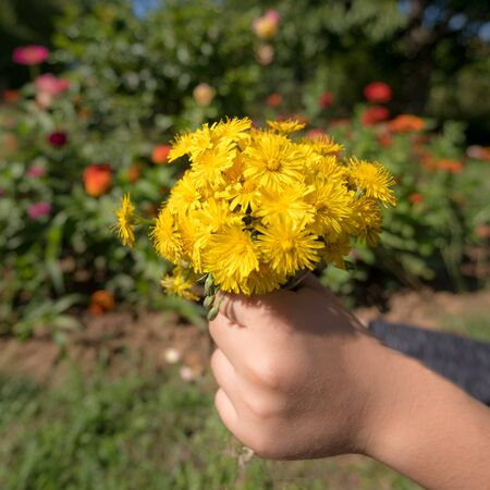 Child holds a bouquet of yellow blossoms in the sunshine in hand in front of blurred colorful background Stock fotó