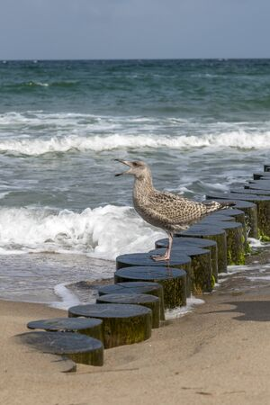 Brown Herring Gull stands screaming on a wooden pole on the sandy beach of the Baltic Sea