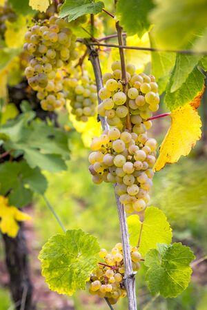 Ripe yellow grapes hang in the direct backlight of the sun on the bush Foto de archivo - 133552246