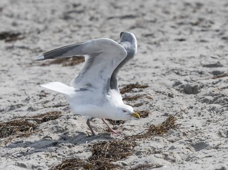 White Herring Gull flies over sandy beach of the Baltic Sea with waves and blue sky