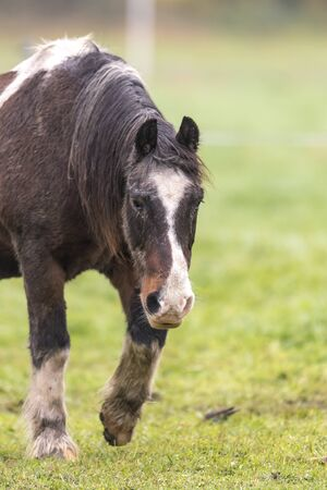 Brown horse with dirty fur is walking on a meadow in front of blurred background