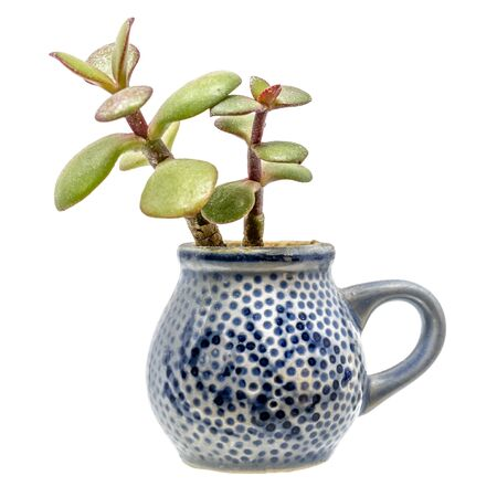Small plant with thick leaves grows out of a blue pitcher of stone goods isolated on white