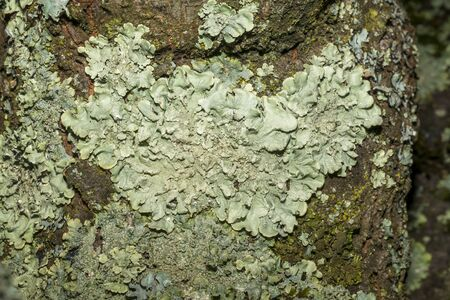 Close-up of a gray-green tree lichen on the bark of an old fruit tree