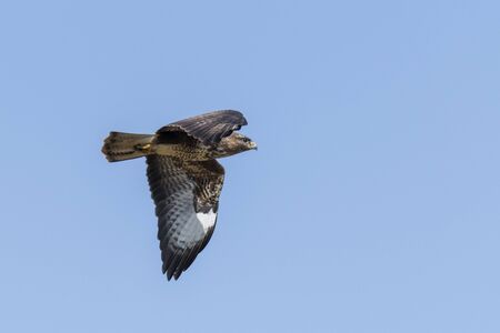 Flying buzzard with spread wings against a blue sky