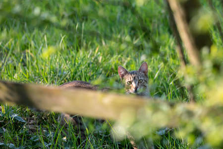Hidden gray striped domestic cat in tall grass looks over a wooden fence