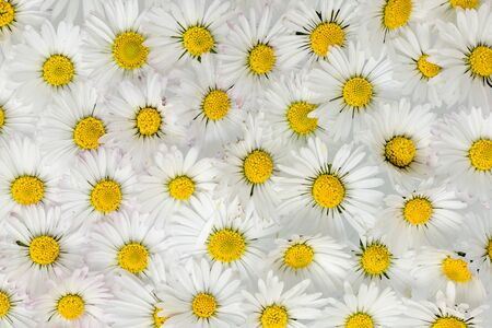 Many evenly distributed white yellow daisy flowers as a background Banque d'images