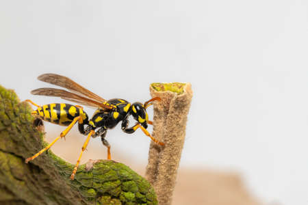 Side view of a crawling field wasp on the leaf margin with copy-space